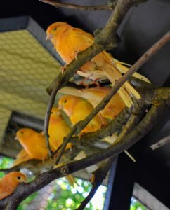 Canaries also love to roost on the highest branches, so they can get a good view of all the happenings at the farm. Here are several canaries perched on the highest branch.