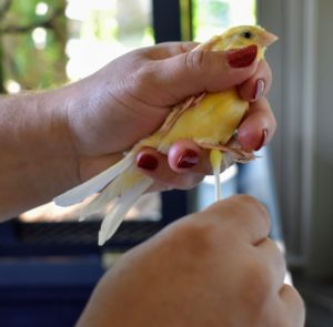 Using a cotton swab, Enma then applies a light coat of olive oil to their legs to keep them from flaking. If held correctly, a canary will remain calm throughout this process.