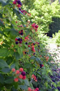 The berries will ripen gradually throughout the summer, so it's important to check the crop every few days. Overripe berries will be mushy when harvested.