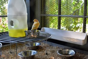 The birds are given both fresh water in stainless steel bowls and vitamin water in the bigger container. Every morning, all the stainless steel bowls are washed and refilled with water and canary seed mix.