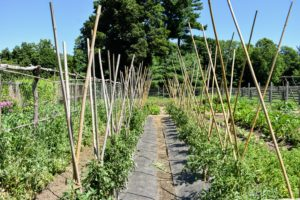 In this bed, we experimented with tying the bamboo in the center to provide more room at the top - we're always looking for the most efficient ways to grow our crops. Very soon, we will have many, many delicious tomatoes to enjoy - I can't wait. How are your tomatoes doing this year?