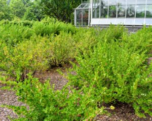 The gooseberry bushes are located next to the head house of my main greenhouse, and across from my flower cutting garden – an area where they can get morning sun, afternoon part-shade, and buoyant air circulation.