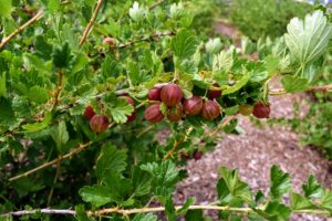 One healthy gooseberry bush can produce up to eight to 10-pounds of fruit per season.