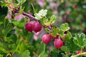 Gooseberries are native to Europe, northwest Africa, and all regions of Asia except for the north. Gooseberries grow best in areas with cold, freezing winters and humid summers. Wild gooseberries can be found in alpine thickets, woodlands and hedgerows.