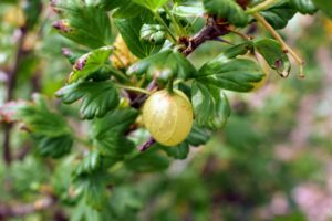 'Invicta' gooseberries are larger, sweet, greenish-yellow berries that are delicious for fresh eating, and for making pies and preserves. They are also great for freezing and using later.