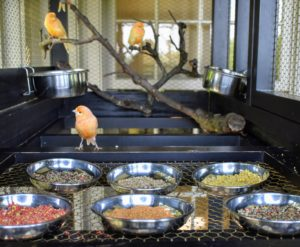 Named after its beautiful plumage, the red factor canary, Serinus canaria domestica, is one of the most popular canary breeds. I designed this cage after one that came from France, built around 1900, probably to house doves or quails. This is one of two painted black - much like my other canary cage painted Bedford Gray.