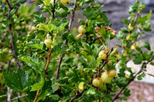 The 'Invicta' gooseberry plant is vigorous, spiny, and can yield a prolific amount of fruit. It has excellent resistance to mildew making it a popular variety for home growers.