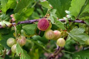 When picking, look for full grown gooseberries. American varieties usually reach about a half-inch long in size.