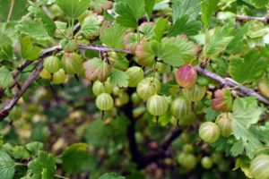 Aside from being eaten as is, or used in baking and for making jams, gooseberries have also been known to flavor beverages and made into fruit wines and teas.