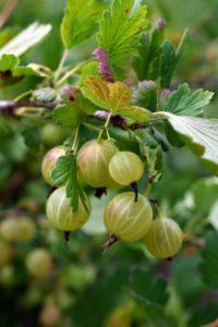Gooseberries were first grown as early as the 16th century in the United Kingdom. They grew so much in popularity among British chefs that in the 19th century, there were clubs of gooseberry growers. Mildew nearly decimated the fruit in 1905, but thankfully, mildew-resistant plants were re-introduced in America.
