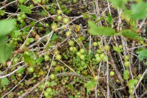 Well-maintained gooseberry bushes can fruit for more than 15-years. They are fast growing, deciduous shrubs, that can grow up to three to four feet tall, and up to six-feet wide.