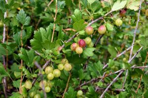 Don't confuse this gooseberry with other plants containing gooseberry in its name – they are neither related or similar to the Chinese gooseberry, which is a kiwi fruit, or to the Barbados gooseberry, which is a type of cactus.