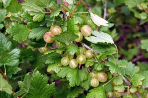 Gooseberries are among the most nutritious fruits available. They are rich in antioxidants, iron, vitamins A and C, fiber, potassium, magnesium, and calcium. Gooseberries are known to improve skin and vision health, and to increase immunity.
