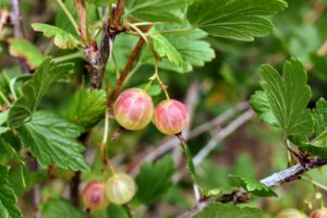 'Pixwell' gooseberries are medium sized pinkish berries that are great for fresh eating or for making pies and jellies.