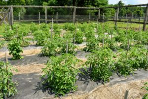 When tomato plants are more than a couple feet tall, it's time to replace the shorter bamboo stakes with taller ones, which are arranged as teepees. Never use chemically treated wood or other material for staking climbers, as the chemicals would likely run off and go into the soil.