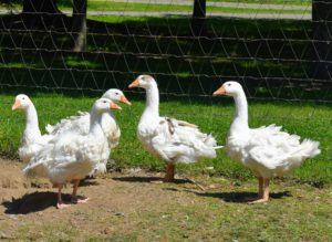 These five Sebastopol geese are the best of friends – they always travel together around their enclosure.