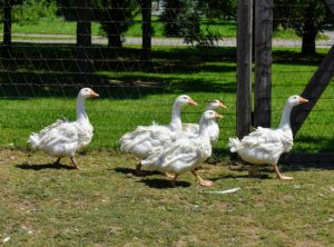 These juveniles now have their white soft-quilled feathers. Sebastopols have been called the 'pantomime goose' because of their fancy plumage. They have a curled feather mutation and the shaft of the longer feathers splits, so the vanes are fluted.