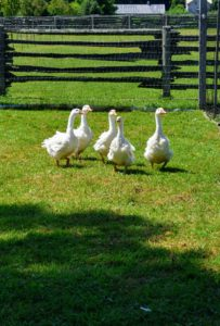 These young geese love running through the yard and watching all the activity around the farm. Geese also spend a lot of time preening as they need to keep their feathers waterproof which is helped not only by the oil from the preen gland, but the actual structure of the feathers.