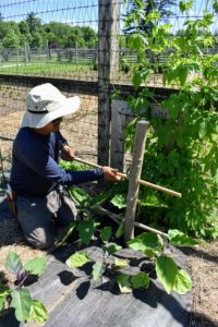 Here he is placing the bamboo into the third post of this eggplant bed.
