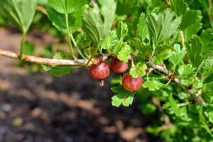 The color of gooseberries depends on the variety. It can range from yellow, green, and white to red, purple or nearly black. What is most noticeable in all are the veins in the skin of the fruit.