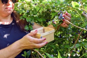 Enma uses these berry boxes to collect the blueberries - she is careful to pick only the bluest of them all, leaving the lighter green ones to mature.