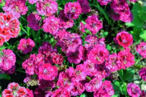 Dianthus flowers belong to a family of plants which includes carnations and are characterized by their spicy fragrance. Dianthus plants may be found as a hardy annual, biennial or perennial and most often used in borders or potted displays.