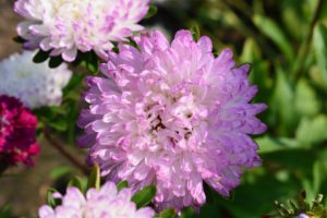 Aster flowers may reach three to four feet or can be compact and mounding. Asters need little in the way of maintenance - they just need deadheading for more blooms the following season.