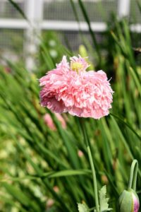 Poppies are an attractive, easy to grow flower in both annual and perennial varieties, and they come in nearly every color of the rainbow.