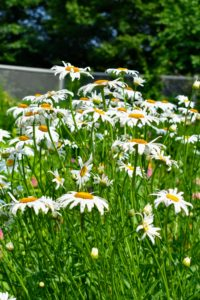 I have an abundance of shasta daisies this season - they always look so cheerful, especially when planted in large groups.