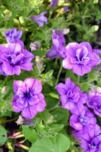This is a petunia hybrid, 'Supertunia Priscilla'. It features lavender double blooms with purple veins and has a spread of 18 to 24 inches, and a height of eight to 10 inches. Bred by Proven Winners, I sold this variety for a limited time along with products from my Gardening Collection on QVC.