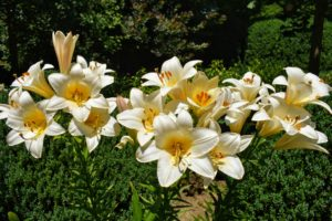 Lily flowers have six tepals each. The tepals are free from each other, and bear a nectary at the base of each bloom.