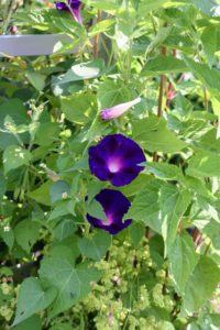 Morning glories are annual climbers with slender stems, heart-shaped leaves, and trumpet-shaped flowers of pink, purple-blue, magenta, or white. The vine grows quickly—up to 15-feet in one season.
