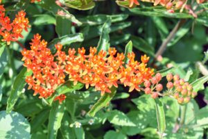 """Butterfly Weed is a bright orange showy native wildflower that's easy to grow, cold hardy, and does well in poor, dry soils. Long-lasting clusters of small, flat-topped flowers are crowned with a yellow, sun-kissed """"corona"""" and blooms from June through August. Butterfly Weed is an important nectar source for Monarch butterflies and its leaves provide essential food for developing Monarch caterpillars."""