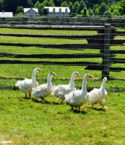 Do you know… a goose is actually the term for female geese, male geese are called ganders. A group of geese on land or in water is a gaggle, while in the air they are called a skein, a team or a wedge.