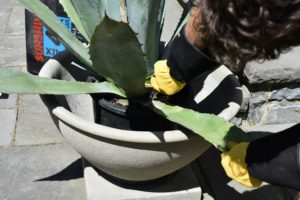 Ryan removes any damaged leaves. Agaves are long-leafed succulents with shallow roots and showy, spiked leaves. A little extra care should be taken whenever working with such sharp plants.