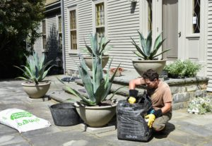 To preserve these more porous and fragile planters, Ryan keeps the agaves in the plastic containers. Doing this will also make it easier to remove the agaves next autumn, when these tropical specimens go back into the greenhouse for the winter.