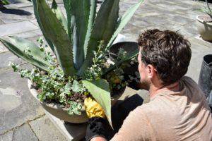Ryan plants six to eight small helichrysum plants underneath each agave.