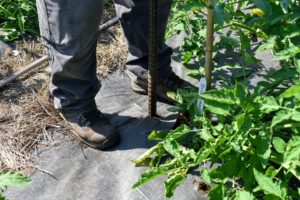 All our tomato beds are covered in black weed cloth to cut down on some of the laborious weeding in the garden.