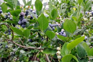 Over the last couple weeks, we've picked lots of berries - the bushes are so full! I grow many blueberry varieties, including Bluegold, Chandler, Darrow, Jersey, and Patriot.