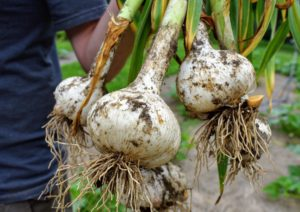 This is Elephant garlic - our biggest variety. Jumbo sized Elephant garlic will have about eight to 11 cloves depending on the size.