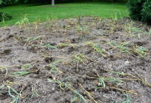 Ryan, Carlos and Kayley worked very fast to loosen all the garlic first before pulling them from the ground.