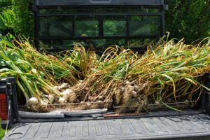 Here is all the garlic in the back of our Polaris Ranger. The leaves and roots can be left intact during the curing process. The bulb continues to draw energy from the leaves until all the moisture evaporates.