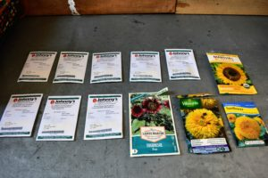 As the season's vegetables are harvested, Ryan reseeds the beds with fast-growing crops. We selected a collection of beautiful big sunflowers to plant next to our growing crop of winter squash.