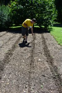 Here, Ryan drops the seeds into the furrow, leaving several inches between each seed.