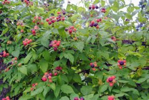 And right on time, these bushes are all lush and exploding with delicious berries.