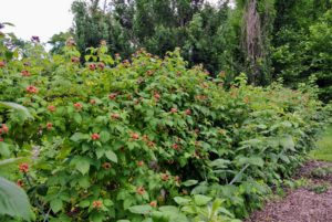 Summer-bearing raspberry bushes produce one crop each season. The fruits typically start ripening in late June into July with a crop that lasts about one month.
