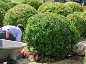 Once the new shrub is in the hole, the top of the root ball should be a half-inch higher than the soil surface. This is because boxwoods hate standing water. Phurba adds fertilizer, and backfills the surrounding area.