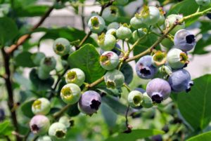 In 2003, the United States Department of Agriculture proclaimed July as National Blueberry Month in the USA. It seems fitting since blueberry bushes typically bear fruit in the middle of the growing season in July.