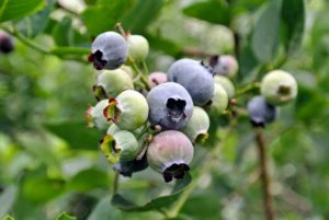 Blueberries don't actually reach their full flavor until a few days after they turn blue, so a tip to know which ones are the best - tickle the bunches lightly and only the true ripe ones will fall into your hand.