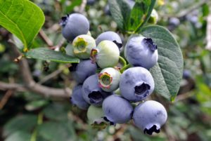 There are two types of blueberries, highbush and lowbush. Highbush blueberries are the types you commonly find at grocery stores and farmers markets. Lowbush blueberries are smaller, sweeter blueberries often used for making juices, jams and baked goods.